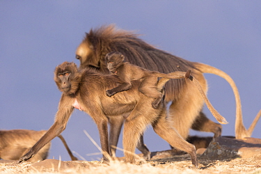 Gelada baboon (Theropithecus gelada) female carrying baby on back, dominant male in background. Debre Libanos, Rift Valley, Ethiopia.