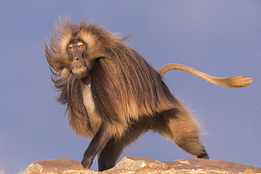 RF-Gelada baboon (Theropithecus gelada) dominant male running. Debre Libanos, Rift Valley, Ethiopia. 2017. (This image may be licensed either as rights managed or royalty free)