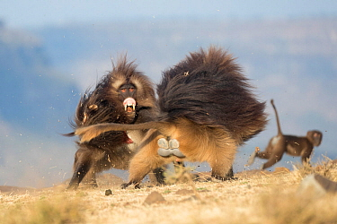 Gelada baboon (Theropithecus gelada) two males fighting, another Baboon in background. Debre Libanos, Rift Valley, Ethiopia. 2017.