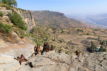 View into valley and Gelada baboon (Theropithecus gelada) group of females with young and a male. Near cliff where Baboons spend the night. Debre Libanos, Rift Valley, Ethiopia. 2017.