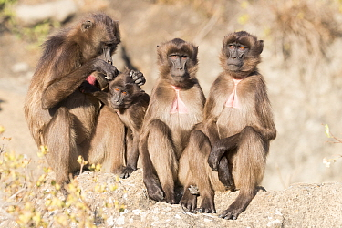 RF-Gelada baboon (Theropithecus gelada) group, one grooming another. Debre Libanos, Rift Valley, Ethiopia. (This image may be licensed either as rights managed or royalty free)