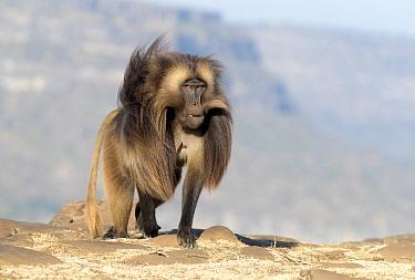 Gelada baboon (Theropithecus gelada), dominant male walking. Debre Libanos, Rift Valley, Ethiopia.