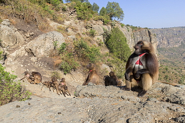 Gelada baboon (Theropithecus gelada) group, male in foreground with females and young in background. Near cliff where Baboons spend the night. Debre Libanos, Rift Valley, Ethiopia.