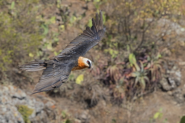 Bearded vulture (Gypaetus barbatus) in flight. Debre Libanos, Rift Valley, Ethiopia.