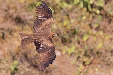 Yellow-billed kite (Milvus aegyptius) in flight. Debre Libanos, Rift Valley, Ethiopia.