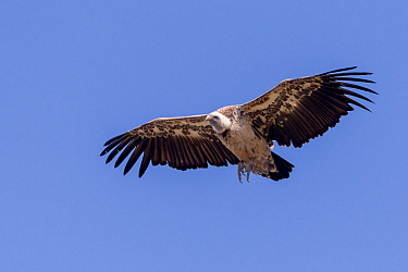 Hooded vulture (Necrosyrtes monachus) in flight. Debre Libanos, Rift Valley, Ethiopia.