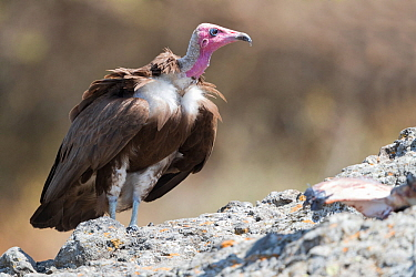 Hooded vulture (Necrosyrtes monachus). Debre Libanos, Rift Valley, Ethiopia.