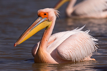 Great white pelican (Pelecanus onocrotalus) on water, portrait. Lake Ziway, Rift Valley, Ethiopia.