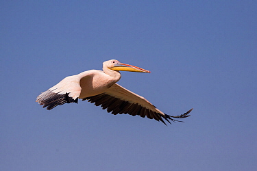 Great white pelican (Pelecanus onocrotalus) in flight. Lake Ziway, Rift Valley, Ethiopia.