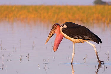Marabou stork (Leptoptilos crumenifer) with prominent throat sacwading in Lake Ziway, Rift Valley, Ethiopia.