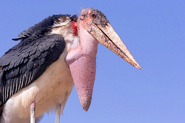 Marabou stork (Leptoptilos crumenifer) with prominent vocal pouch, portrait. Lake Ziway, Rift Valley, Ethiopia.