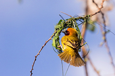 RF-Village weaver (Ploceus cucullatus) male building nest. Lake Ziway, Rift Valley, Ethiopia. (This image may be licensed either as rights managed or royalty free)
