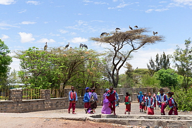 Marabou stork (Leptoptilos crumenifer) nests on trees in town, school children in foreground. Ziway Lake Ziway, Rift Valley, Ethiopia. 2017.