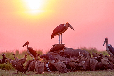 Marabou stork (Leptoptilos crumenifer) and group of vultures including White-backed vulture (Gyps africanus) feeding on African elephant (Loxodonta africana) carcass at sunset. Elephant died from anth...
