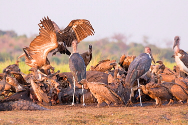 White-backed vulture (Gyps africanus) group and Marabou storks (Leptoptilos crumenifer) feeding on African elephant (Loxodonta africana) carcass. Elephant died from anthrax. Chobe National Park, Botsw...