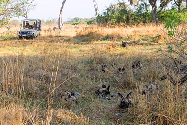 African hunting dog (Lycaon pictus) pack resting in grass, tourists observing from jeep in background. Moremi Game Reserve, Bostwana, Africa. 2017.