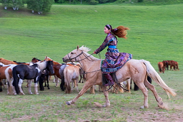 Woman in traditional dress riding on horseback past herd of horses. Bashang Grassland, near Zhangjiakou, Hebei Province, Inner Mongolia, China. 2018.