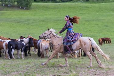 Woman in traditional dress riding on horseback past herd of horses. Bashang Grassland, near Zhangjiakou, Hebei Province, Inner Mongolia, China. 2018.