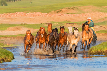 Mongol herding horses through water. Bashang Grassland, near Zhangjiakou, Hebei Province, Inner Mongolia, China. July 2018.