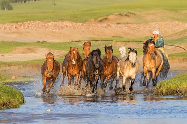 Mongol herding horses through water. Bashang Grassland, near Zhangjiakou, Hebei Province, Inner Mongolia, China. July 2018.