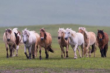 Horses running in grassland. Bashang Grassland, near Zhangjiakou, Hebei Province, Inner Mongolia, China. July.
