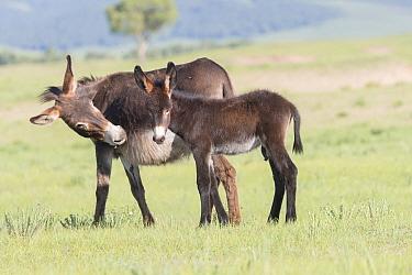 Donkey (Equus africanus asinus) female and foal. Bashang Grassland, near Zhangjiakou, Hebei Province, Inner Mongolia, China.