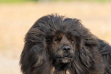 Tibetan mastiff, portrait. Near Zhangjiakou, Hebei Province, Inner Mongolia, China.