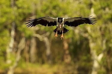 Magpie Goose (Anseranas semipalmata) landing. Cape York Peninsula, Queensland, Australia.