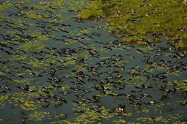 Magpie geese (Anseranas semipalmata) flying low over Green Swamp, shot from the air. Piccaninny Plains Sanctuary, Cape York Peninsula, Queensland, Australia