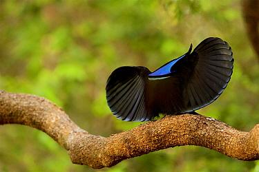 Magnificent riflebird (Ptiloris magnificus alberti) male, on his display perch performing a display.  Piccaninny Plains Sanctuary,  Cape York Peninsula, Queensland, Australia