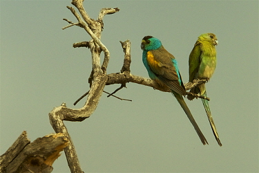 Golden-shouldered Parrot (Psephotus chrysopterygius) pair perched, Cape York Peninsula, Queensland, Australia.