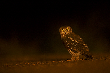 Barking Owl (Ninox connivens) on ground at night, Cape York Peninsula, Queensland, Australia.