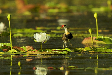 Comb-crested Jacana (Irediparra gallinacea) adult transporting young under his wings among Giant Water Lilies (Nymphaea gigantea) in billabong (pond) Cape York Peninsula, Queensland, Australia.