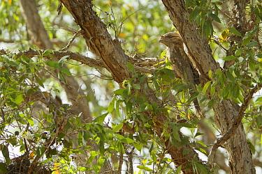 Papuan Frogmouth (Podargus papuensis) Lotusbird Billabong, Cape York Peninsula, Queensland, Australia.