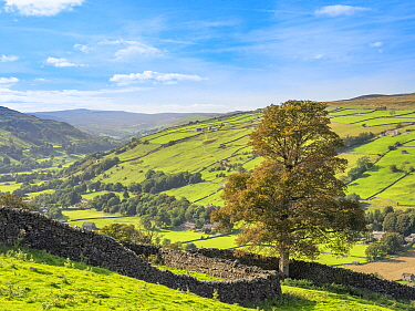 Drystone wall and tree overlooking valley. Swaledale, Yorkshire Dales National Park, England, UK. September 2019.