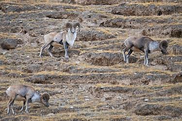 Altai argali sheep (Ovis ammon), three grazing on slope. Sanjiangyuan National Nature Reserve, Tibetan Plateau, Qinghai, China. October.