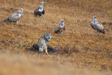 Tibetan wolf (Canis lupus filchneri) scavenging on Yak calf carcass, killed by Snow leopard (Uncia uncia). Himalayan griffon vulture (Gyps himalayensis) group waiting in background. Valley of the Cats...