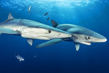 Couple of Blue shark (Prionace glauca) and Pilot fish (Naucrates ductor), Pico Island, Azores, Portugal, Atlantic Ocean
