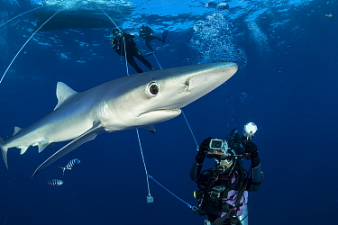 Scuba divers with Blue shark (Prionace glauca) and Pilot fish (Naucrates ductor), Pico Island, Azores, Portugal, Atlantic Ocean