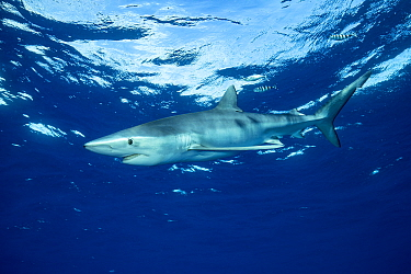 Blue shark (Prionace glauca) and Pilot fish (Naucrates ductor), Pico Island, Azores, Portugal, Atlantic Ocean
