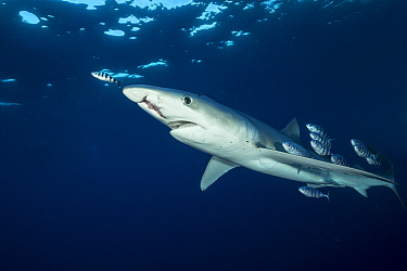 Blue shark (Prionace glauca) with damaged jaw and Pilot fish (Naucrates ductor), Pico Island, Azores, Portugal, Atlantic Ocean