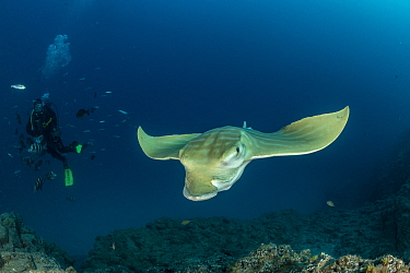 Scuba diver with Bull ray (Pteromylaeus bovinus), South Tenerife, Canary Islands, Atlantic Ocean.