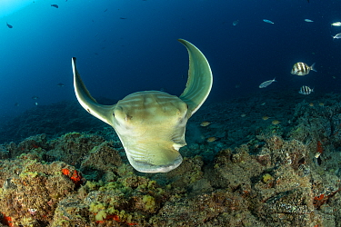 Bull ray (Pteromylaeus bovinus), South Tenerife, Canary Islands, Atlantic Ocean.