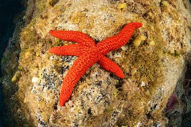 Red sea star (Echinaster sepositus), South Tenerife, Canary Islands, Atlantic Ocean.