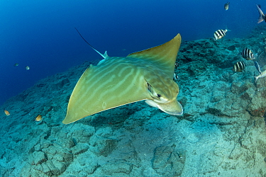 Bull ray (Pteromylaeus bovinus), South Tenerife, Canary Islands, Atlantic Ocean.