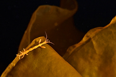 Skeleton shrimp (Caprella septentrionalis) on kelp Russia. White Sea.