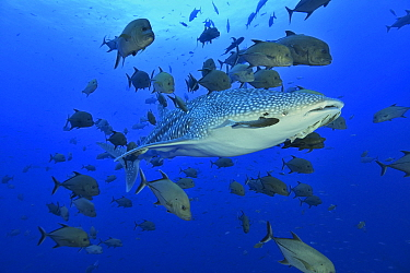 Whale shark (Rhincodon typus) with Remora (Remora remora) near its eye swimming in the open water surrounded with black jacks or trevally (Caranx lugubris), Revillagigedo islands, Mexico. Pacific Ocea...