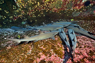 Group of white tip sharks (Triaenodon obesus) lying on the bottom, Revillagigedo islands, Mexico. Pacific Ocean.