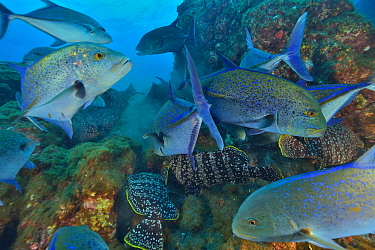 Bluefin trevally or jacks (Caranx melampygus) and Leather bass (Dermatolepis dermatolepis) Revillagigedo islands, Mexico. Pacific Ocean.