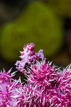 Soft coral crab (Hoplophrys oatesii) on Soft coral (Alcyonacea). Derawan Islands, East Kalimantan, Indonesia.